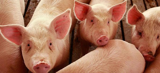 Дополнителни субвенции за свињарството