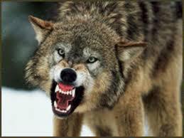 Го нападнал волк додека ги хранел овците