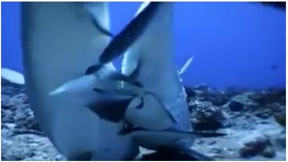 Смрзнувачки: Вака изгледа парењето на ајкули… (ВИДЕО)