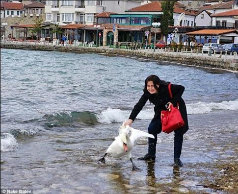 ФОТО: Туристка уби лебед во Охрид – сакала да се слика селфи