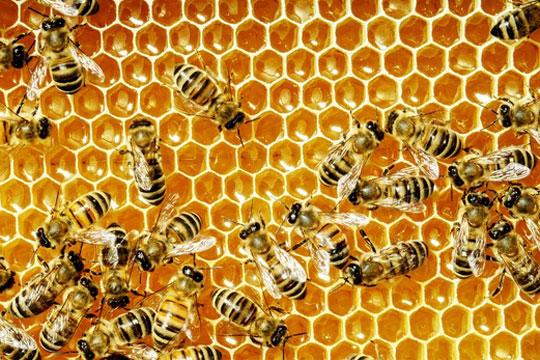 Пчелите можат да сметаат и да препознаваат лица