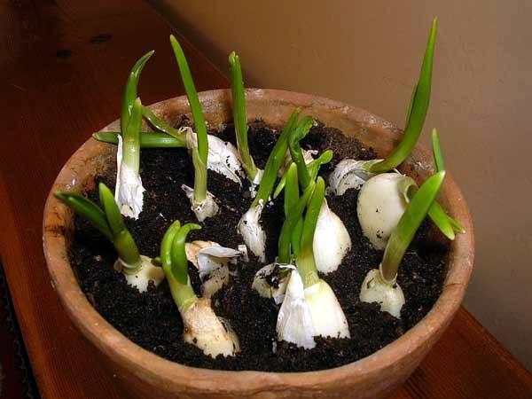 Како да одгледувате лук во саксија?