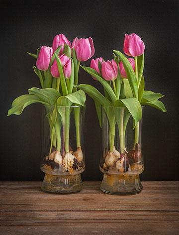 Како да одгледувате лалиња во вазна?