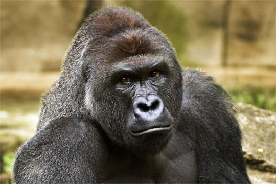 Нема обвинување за мајката на детето кое падна меѓу горили