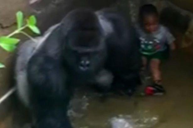 Нови откритија: Горилото несакало да го повреди, туку да го заштити детето