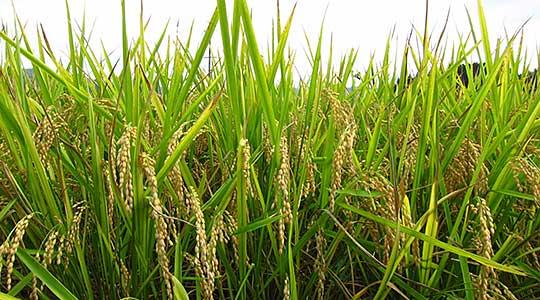 Систем капка по капка на оризовите полиња во кочанско