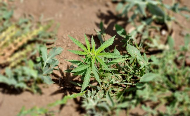marihuana 15156465