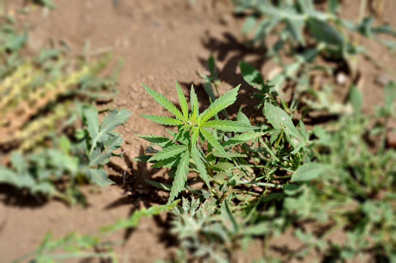 ВИДЕО: Скопјанец одгледувал речиси 2.000 стебла марихуана во Кратовско