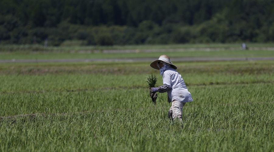 Ориз од Фукушима ќе се продава на европскиот пазар