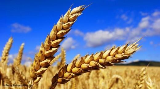 пченица-520x292