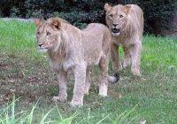 lavovi-izbegaa