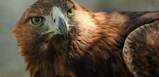 Ќе одговараат кривично битолчаните кои се иживуваа врз заштитен вид орел