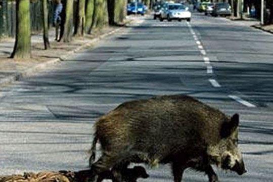 Гостиварец со автомобил усмртил четири диви свињи