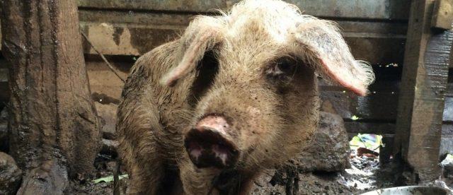 Свињи распарчале и изеле тројца луѓе