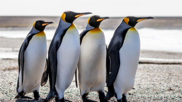 Пингвините во Зоолошка доаѓаат напролет