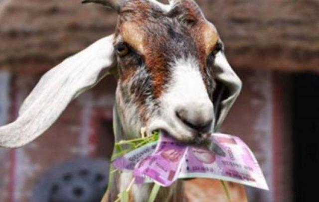 Коза изеде 20.000 евра, трагедија за семејната заштеда или лажна вест